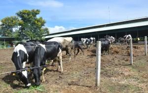 Lắp đặt hàng rào xung điện trang trại bò Kobe
