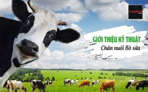 Giới thiệu kỹ thuật chăn nuôi bò sữa