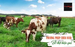 Phương pháp chăn nuôi bò thịt hiệu quả