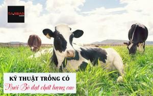 Kỹ thuật trồng cỏ nuôi bò đạt chất lượng cao