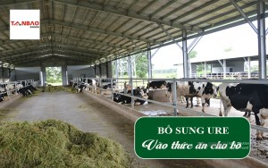 Bổ sung Ure vào thức ăn cho bò