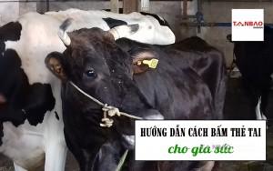 Hướng dẫn cách bấm thẻ tai cho gia súc