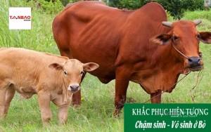 Biện pháp khắc phục hiện tượng Chậm sinh - Vô sinh ở bò