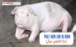 Phát hiện lợn bị bệnh qua quan sát